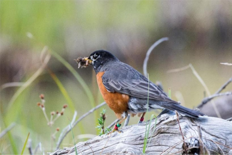 202109 American Robin by Emily Williams