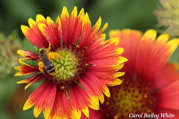 Florida native Gaillardia pulchella, or blanket flower