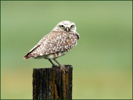 Burrowing Owl by Carol Bailey-White