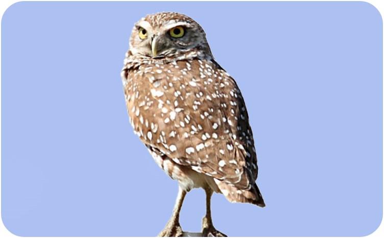 Burrowing Owl by Carol Bailey-White