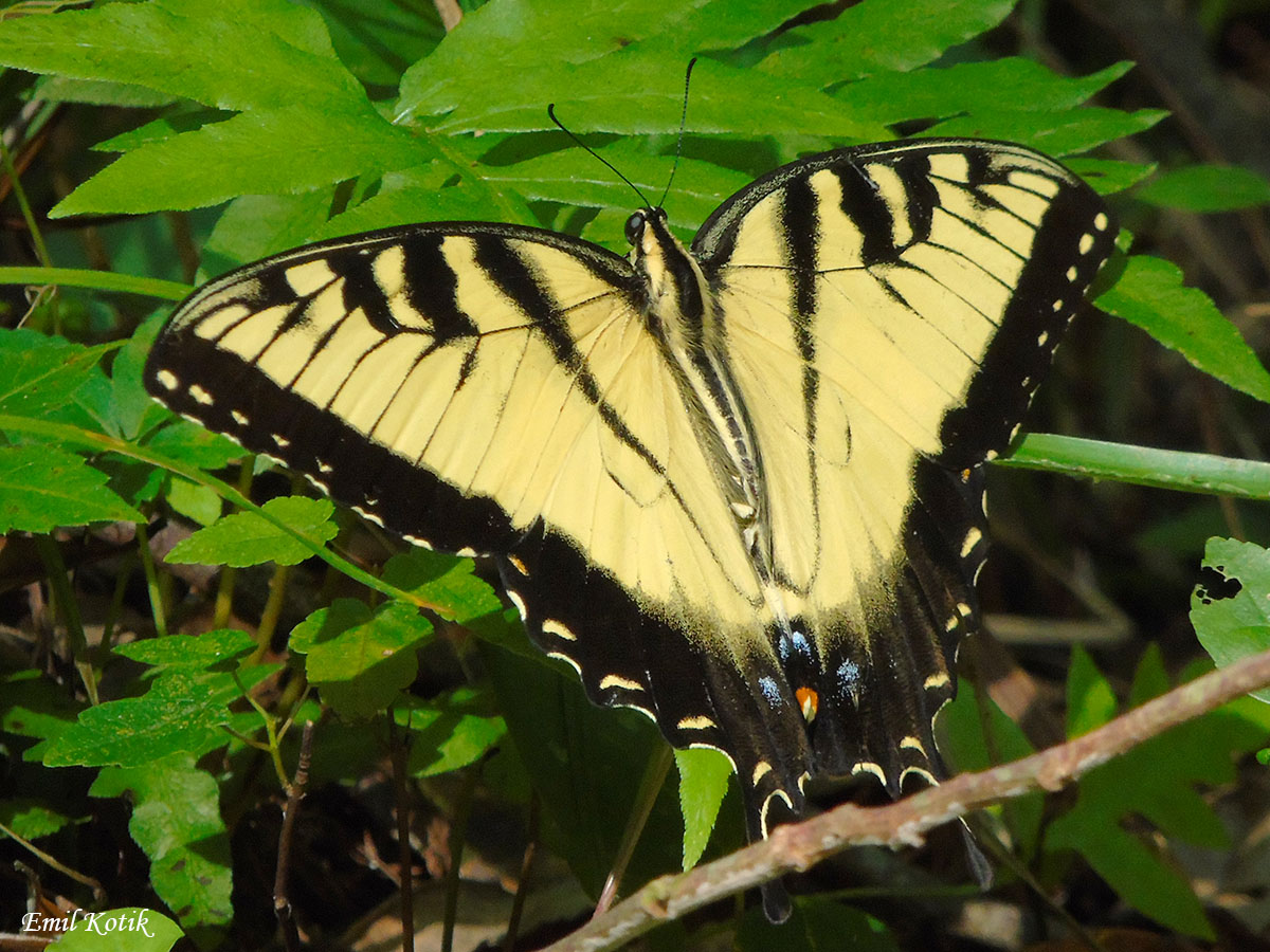 Crosby eastern tiger swallowtail watermark Emil Kotik