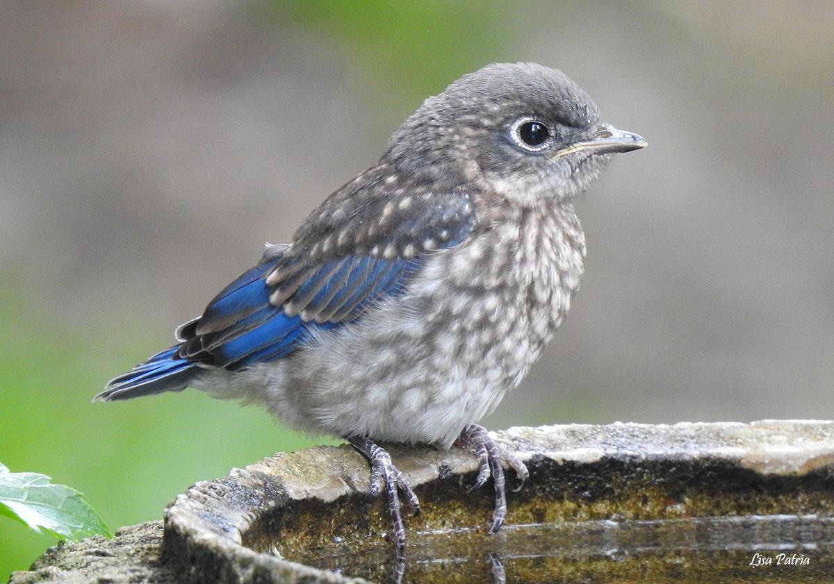 Eastern Bluebird fledgling watermark Lisa Patria 20200508 DSCN2110