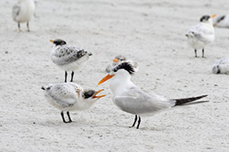 Photo of Royal Tern with chick by Carol Bailey-White