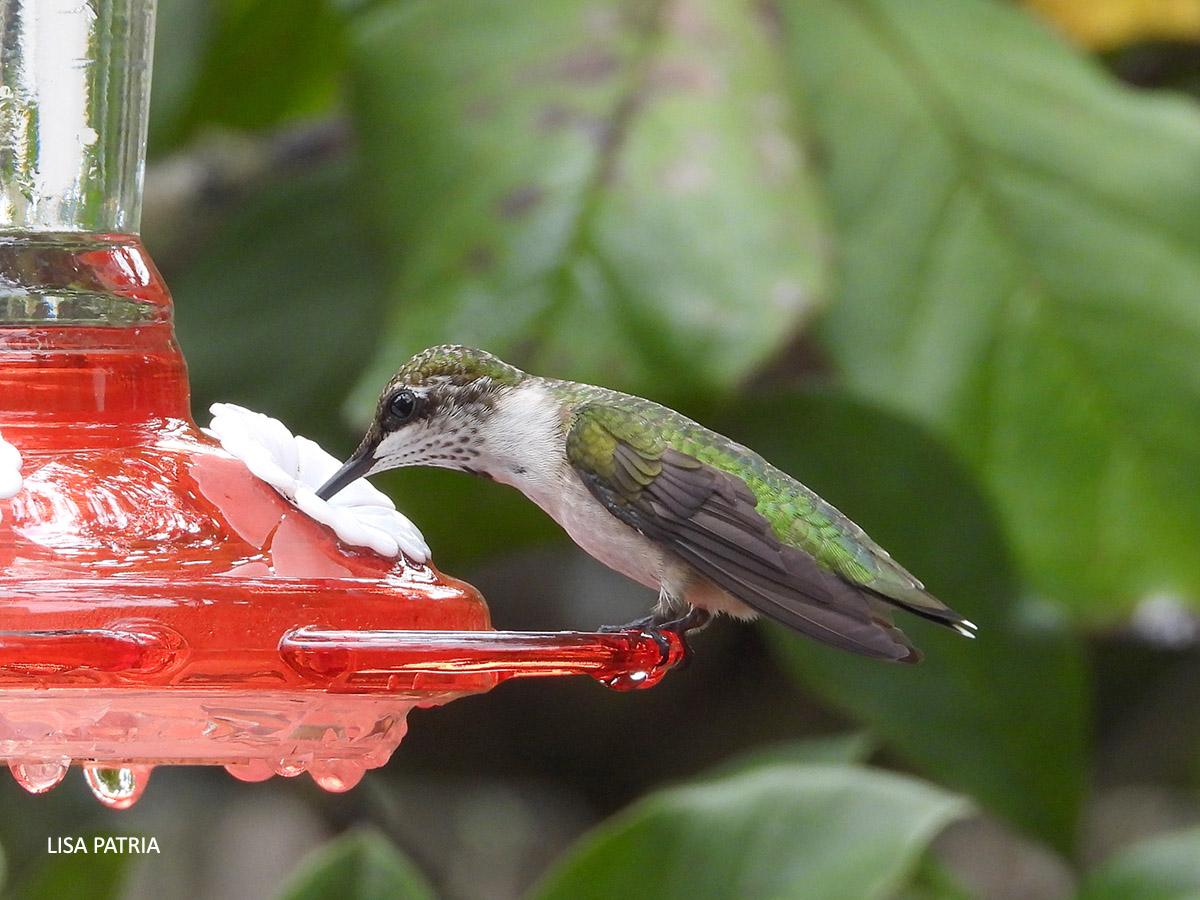 Ruby throated Hummingbird watermark Lisa Patria 202008 DSCN1046