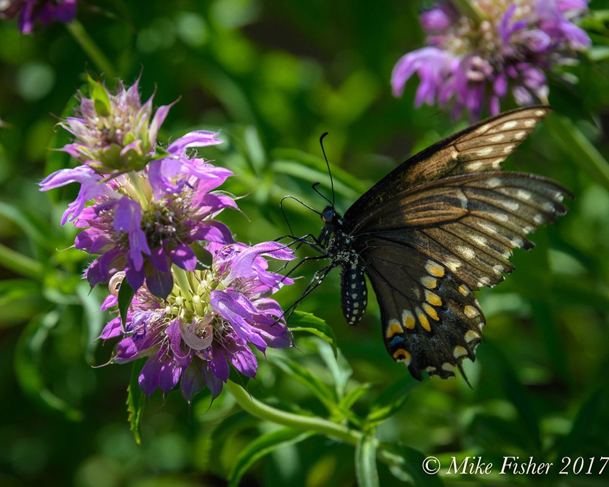 Spotted Bee Balm watermark Mike Fisher 2017