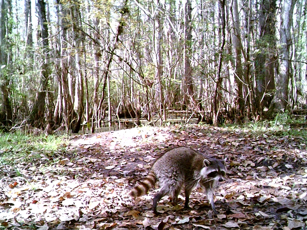 Trailcam 1 Raccoon 20191127 STC 0128