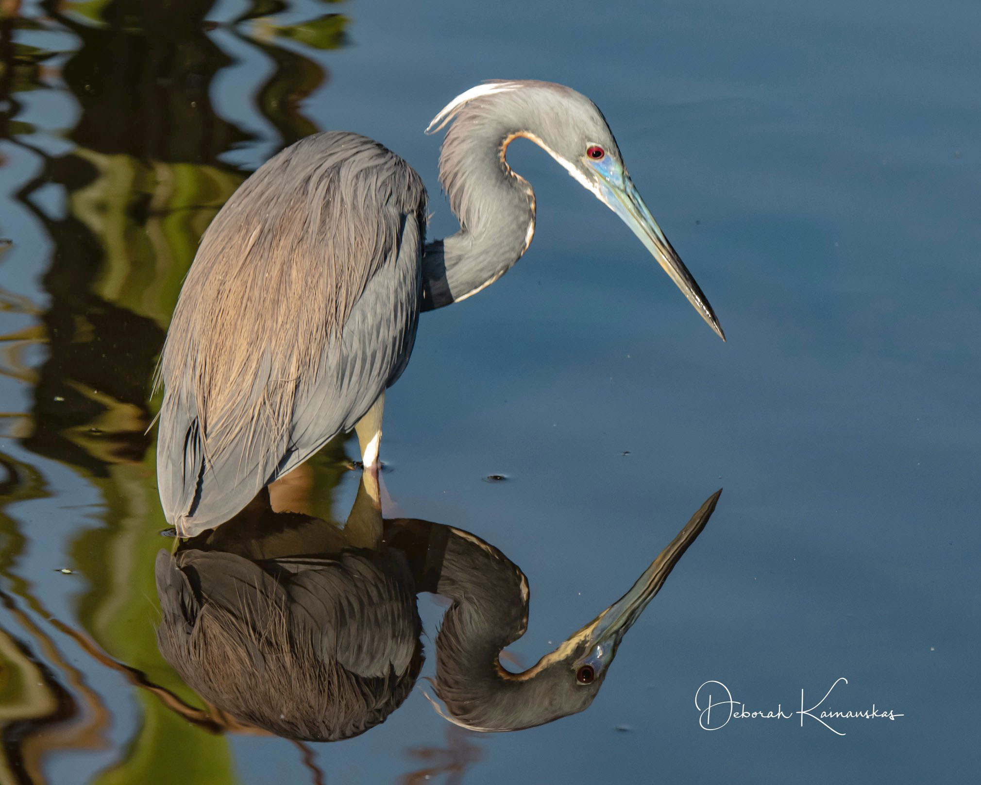 Photo of a Tricolored Heron by Deborah Kainauskas